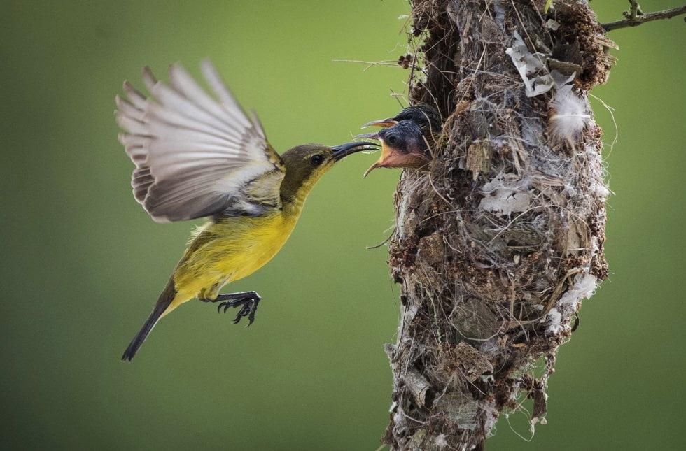 Una suimanga dorsioliva alimenta a sus crías